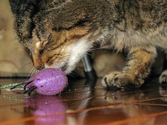 Cat with a toy (thomasschirtzphotos) Tags: cat catnip toys pet feline mammal closeup nopeople tabby striped purple mouse toymouse