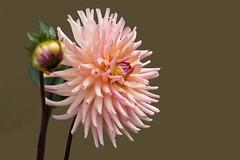 die Dahlie zeigt sich heute von einer schönen Seite ;-) (baerchen57) Tags: dahlie blume pflanze sommer makro farben licht