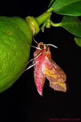 Deilephila porcellus - Petit sphinx de la vigne - Sphingidae - COURS 34 (michel-candel) Tags: deilephila porcellus petit sphinx de la vigne sphingidae cours 34