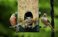 (tchoff99) Tags: canon pa finch afternoon summer feeder birds