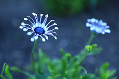 Shades of Blue (steveboer.com) Tags: blue flower plant flora daisy garden petal grass nature blossom daisies summer leaf closeup small macrophotography green aster beautiful floral computerwallpaper color wildflower geranium blooming daisyfamily bright white vegetation spring season plantstem growth freshness field