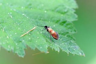 Micropterix mansuetella, Roudsea, Cumbria, England