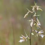 Epipactis palustris thumbnail
