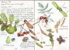 Seed dispersal (Hornbeam Arts) Tags: oak acorn chestnut rowan ash knopper gall lime rose hips laburnum beech nut hornbeam maple sycamore