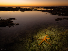 Star of the Sea (Eifeltopia) Tags: seestern redstarfish sea tidal ebbe sunset pool seastar purpurstern echinastersepositus coast ningaloo australia westernaustralia asteroidea flashlight taschenlampe illuminated wasser lighthousebay küste sonnenuntergang dusk abenddämmerung animalia meerestier marinelife sealife saltwater salzwasser lebewesen oceanic