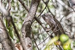 DSC_2882_Madagascar (Rocco Comandè 2010) Tags: madagascar roccocomandè©photography africa isola island mare oceano ocean sea camaleonte camaleont albero tree foresta chameleon forest