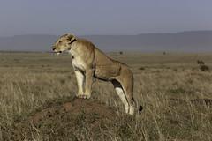 _MG_4962 - copie (franck bordas) Tags: kenya lionne masai mara