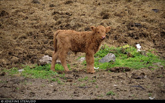 20160617_13 Tiny highland calf | Norway (ratexla) Tags: ratexlasnorwaytrip2016 nonhumananimals norway 17jun2016 2016 canonpowershotsx50hs norge scandinavia scandinavian europe beautiful earth tellus photophotospicturepicturesimageimagesfotofotonbildbilder europaeuropean summer travel travelling traveling norden nordiccountries roadtrip wanderlust journey vacation holiday semester resaresor ontheroad sommar norwegian nonhumananimal cute cool life organism animals animal cattle djur calf calves kalv kalvar young baby babies bäbis brown brun bruna