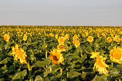 A field of gold