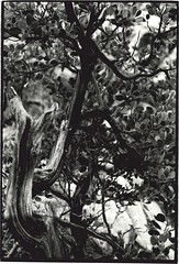 Creosote, Red Rock Canyon (rrevere) Tags: bw monochrome landscape nevada tree creosote