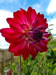 Standing Tall (Steve Taylor (Photography)) Tags: tall high fence garden blue green brown white red purple newzealand nz southisland canterbury christchurch northnewbrighton flower dahlia flora foliage cloud