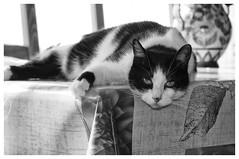 IL FAIT CHAUD (LUDOVIC. R) Tags: chat cat noir et blanc micro 43
