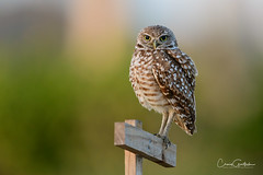 I'm Watching You! (craig goettsch) Tags: burrowingowls capecoral owl bird avian nature wildlife florida nikon d850 bokeh eyes