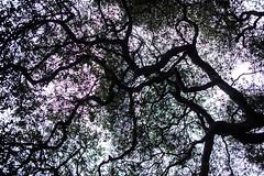 When I Was Younger I Was Hard to Hold (Thomas Hawk) Tags: america california eastbay oakland temescal temescalregionalrecreationalarea usa unitedstates unitedstatesofamerica tree fav10 fav25 fav50