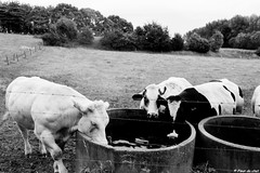 Thirsty day (Fleur Du Chat) Tags: cows vaches