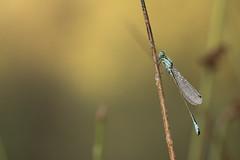 Lantaarntje - Blue-Tailed Damselfly (KarsKW) Tags: awd boomkikker leuk sochtends wow goe dzeg