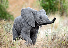 Baby! (Gary Grossman) Tags: elephant baby mammal wild wildlife africa tanzania ruaha garygrossmanphotography wildlifephotography