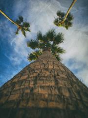 Slidered palm trio -[ HSS ]- >>Explored<< (Carbon Arc) Tags: sliderssunday tree palm arecaceae palmae washingtonia robusta california icon tall nikcollection analogefexpro clouds