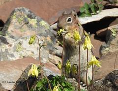 Golden-mantled ground squirrel (pamfromcalgary) Tags: goldenmantledgroundsquirrel animal rodent kananaskis