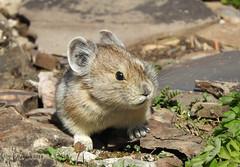 Pika (pamfromcalgary) Tags: animal rodent kananaskis pika pamhawkes