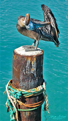 Where's My Wallet ? (mikederrico69) Tags: pelican bird beach pier dock water ocean oceanlife sea seaside trip tropical travel caribbean island summer sun blue turquoise nature wood feathers wings aruba clean
