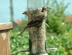 Young blackbird male 8:6 (willapalens) Tags: pacific county washington willapa bay center blackbird