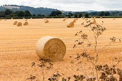 Nearly all done (Keith in Exeter) Tags: straw bales roll field stubble farm woodland tree hedge landscape plant thistle harvest devon england