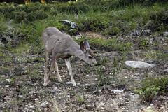 Deer (Walcher Franz) Tags: canada parkscanada parks park wildlife alberta animals animal icefield parkway