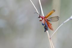 DSC_9988_DxO - téléphore fauve - Rhagonycha fulva (Berzou) Tags: téléphorefauve insect macro macrodenaturalezza macrodream macroinsect nature naturebynikon fantasticnature nikond7200 nikon105mmf28 macr rhagonychafulva