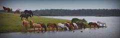 Na paz do remanso (Eduardo Amorim) Tags: cavalos caballos horses chevaux cavalli pferde caballo horse cheval cavallo pferd crioulo criollo crioulos criollos cavalocrioulo cavaloscrioulos caballocriollo caballoscriollos pampa campanha pelotas costadoce riograndedosul brésil brasil sudamérica südamerika suramérica américadosul southamerica amériquedusud americameridionale américadelsur americadelsud cavalo 馬 حصان 马 лошадь ঘোড়া 말 סוס ม้า häst hest hevonen άλογο brazil eduardoamorim pôrdosol poente entardecer poniente atardecer sunset tramonto sonnenuntergang coucherdesoleil crepúsculo anoitecer açude barrage dam damm aguada diga