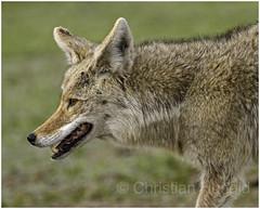 coyote (Christian Hunold) Tags: coyote wilddog mammal northdakota prairie christianhunold badlands