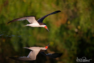 black skimmer taking a dip after a heavy rainfall