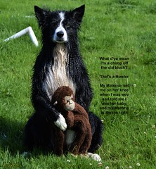 That's a Howler (ASHA THE BORDER COLLiE) Tags: monkey howler mammaset pun funny dog picture caption ashathestarofcountydown connie kells county down photography