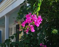 Key West (Florida) Trip 2017 0501Rif (edgarandron - Busy!) Tags: florida keys floridakeys keywest house houses buildings plants flower flowers bougainvillea
