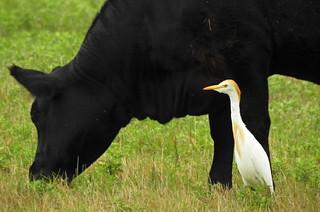 DSCN2331 Cattle Egret