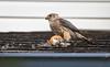 Merlin falcon (ingridvg) Tags: merlin falcon bird robin kill meal