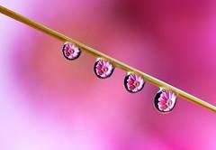 FlowerDrops.jpg (d.vanderhoydonks) Tags: macro flower water drop pink ii focus stack