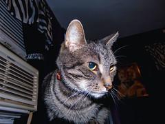 DSC01266 (MykeOwns) Tags: tabbycat tabby cat cats