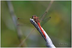 Common Darter (Mike Slade.) Tags: commondarterm male dragonfly sympetrumstriolatum stovercountrypark newtonabbot devon england ©mikeslade