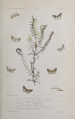 n120_w1150 (BioDivLibrary) Tags: naturalhistory periodicals harvarduniversitybotanylibraries bhl:page=54576655 dc:identifier=httpsbiodiversitylibraryorgpage54576655 botany butterfly drawing artist:name=mmemigneaux illustrator:wikidata=q55231454 artist:name=hortenseléontiadeyrollemigneux taxonomy:binomial=nolachlamydulalis taxonomy:binomial=nolachlamitulalis taxonomy:binomial=eupitheciaconstrictata taxonomy:binomial=eupitheciamerinata taxonomy:binomial=eupithecialaquaearia taxonomy:binomial=emmelesiaunifasciata taxonomy:binomial=eupitheciaalliaria