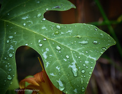 After the Rain (Photographybyjw) Tags: after rain water is still this very wet leaf found north carolina photographybyjw till foliage rural garden country green summer