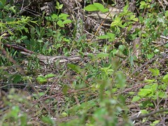 European Nightjar (the master of disguise) (KHR Images) Tags: europeannightjar nightjar caprimulguseuropaeus wild bird mature female forestofdean gloucestershire wildlife nature clearfell nikon d500 kevinrobson khrimages