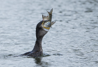 Cormorant ( Skarv ) - Mr Rubber Neck!