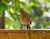 Robin Chick (martin_swatton) Tags: robin bird fareham hampshire uk olympus omd em1 mkii 300 f4 pro chick