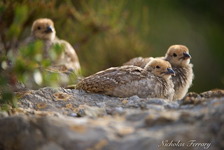 Defiant Chicks