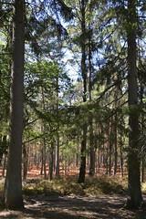 verschroerde bosbessen_D710215 (Vogelmelk) Tags: droogte nederland netherlands veluwe bos