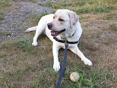 Gracie chilling with her ball (walneylad) Tags: gracie dog canine pet puppy lab labrador labradorretriever cute june summer evening westlynn