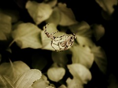 Embrace (J.C. Moyer) Tags: web spidersilk green rustic panasonicdmcgx80 color colour arachnid love embrace macro insects insect fauna flora mating affection nature leaves garden spiders spider araneusdiadematus