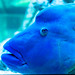 Humphead wrasse (Cheilinus undulatus) of Sumida Aquarium in Tokyo Sky Tree Town : ナポレオンフィッシュ(東京スカイツリータウン・すみだ水族館)