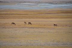 Kiang in Tso Kar Wetland Preserve (pallab seth) Tags: kiang equuskiang tibetanwildass khyang gorkhar donkey tsokarlake lake ladakh jammukashmir india autumn landscape mountains himalayas highaltitudelake morning wetlandconservationreserve nature naturereserve wild